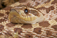 Serpiente de Hognose Imagen de archivo libre de regalías