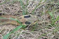 Serpiente de Hognose del este que resbala a través de hierba foto de archivo