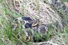 Serpiente de Hognose del este foto de archivo
