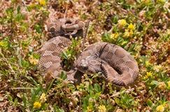 Serpiente de Hognose occidental Fotografía de archivo libre de regalías