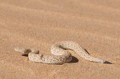 Serpiente de la arena de Peringuey Imágenes de archivo libres de regalías