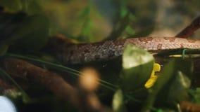 Serpiente de la boa del árbol del Amazonas almacen de video