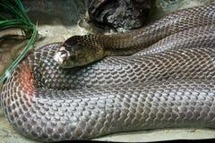 Serpiente de la cobra Foto de archivo libre de regalías