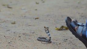 Serpiente de la cobra almacen de video