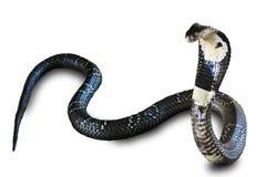 Serpiente de la cobra aislada en la tierra de la parte posterior del blanco Foto de archivo libre de regalías