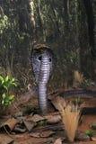 Serpiente de la cobra real Imagen de archivo libre de regalías