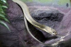 Serpiente de la cobra real Foto de archivo