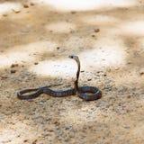 Serpiente de la cobra real Fotos de archivo