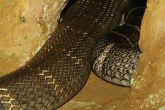 serpiente de la cobra real en cueva Imagenes de archivo