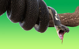 Serpiente de la cobra real envuelta en una rama de árbol Fotos de archivo