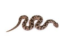 Serpiente de la víbora Foto de archivo libre de regalías