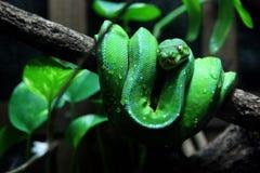 Serpiente de la víbora Fotos de archivo