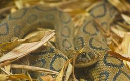 Serpiente de la víbora de Russels Imágenes de archivo libres de regalías
