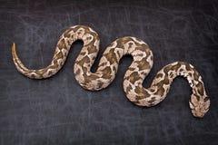 Serpiente de la víbora Imagen de archivo libre de regalías