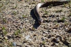 Serpiente de leche con la lengua hacia fuera foto de archivo libre de regalías