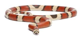 Serpiente de leche de desaparición tricolora del Honduran Fotos de archivo