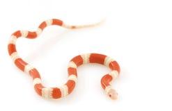 Serpiente de leche del ½ s del ¿de Nelsonï del albino Imagenes de archivo