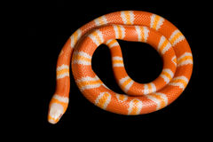 Serpiente de leche del Honduran de la mandarina del albino imagen de archivo