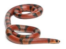 Serpiente de leche del Honduran de la mandarina, Lampropeltis foto de archivo