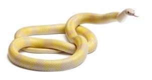 Serpiente de leche del Honduran del contraste del amarillo de la nieve imagenes de archivo