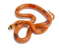 Serpiente de leche tricolora del Honduran de Patternless Imagen de archivo