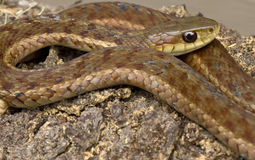 Serpiente de liga Imagen de archivo libre de regalías