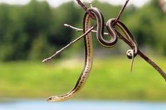 Serpiente de liga Imágenes de archivo libres de regalías