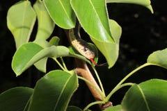 Serpiente de liga fotos de archivo