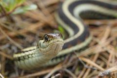 Serpiente de liga común Fotografía de archivo