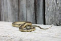 Serpiente de liga común que busca la comida Imágenes de archivo libres de regalías