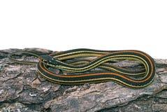 Serpiente de liga común (sirtalis del Thamnophis) imágenes de archivo libres de regalías