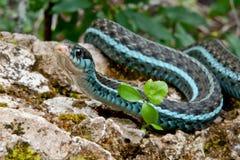 Serpiente de liga de Bluestripe fotografía de archivo