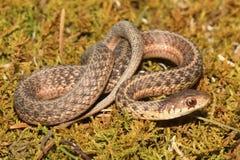 Serpiente de liga del bebé y x28; Sirtalis& x29 del Thamnophis; Fotos de archivo