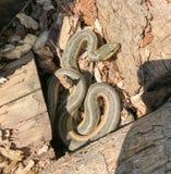 Serpiente de liga del este Imagen de archivo libre de regalías