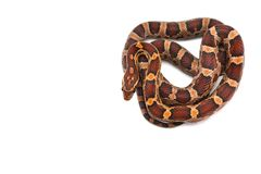 Serpiente de liga del este aislada en el fondo blanco imágenes de archivo libres de regalías
