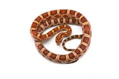 Serpiente de liga del este aislada en el fondo blanco imagenes de archivo
