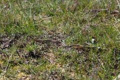 Serpiente de liga roja Foto de archivo