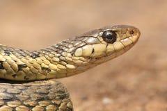 Serpiente de liga (sirtalis del Thamnophis) Fotografía de archivo