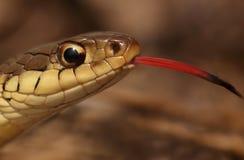 Serpiente de liga (sirtalis del Thamnophis) Imagen de archivo libre de regalías
