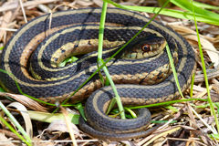 Serpiente de liga (sirtalis del Thamnophis) Fotos de archivo