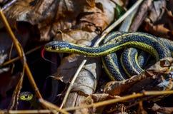 Serpiente de liga - Tounge hacia fuera Foto de archivo libre de regalías