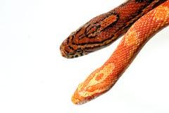 Serpiente de maíz imagenes de archivo