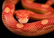Serpiente de maíz Foto de archivo