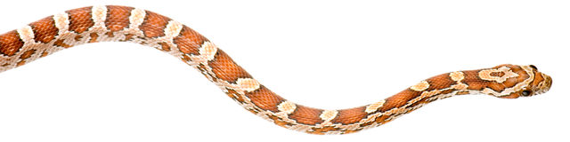 Serpiente de maíz Foto de archivo libre de regalías