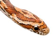 Serpiente de maíz imagen de archivo