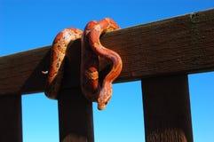 Serpiente de maíz colorida Fotografía de archivo libre de regalías