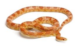 Serpiente de maíz de los albinos de Okeetee, serpiente de rata roja Fotografía de archivo libre de regalías
