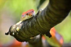 Serpiente de maíz en una rama de árbol Foto de archivo libre de regalías