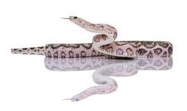 Serpiente de maíz Scaleless o serpiente de rata roja Fotografía de archivo libre de regalías
