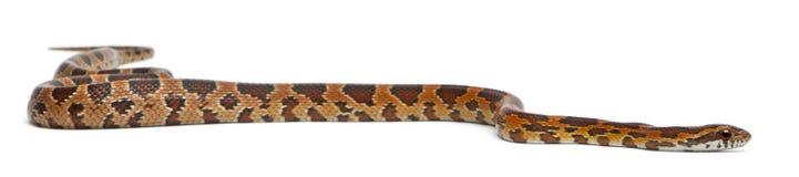 Serpiente de maíz Scaleless, Pantherophis Guttatus imagen de archivo